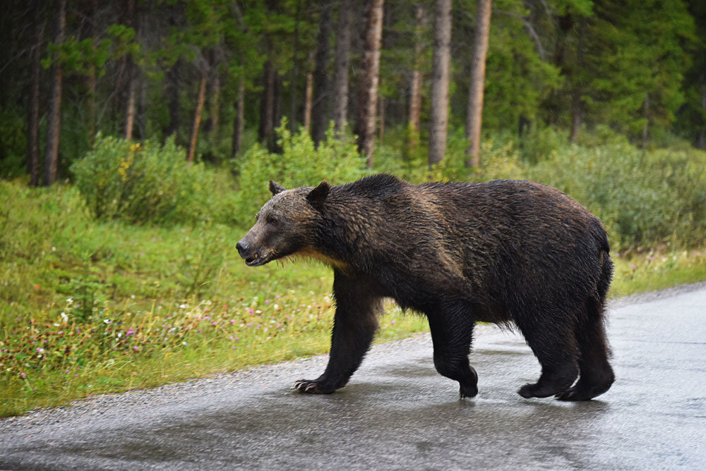 Bear - Bow Valley Parkway