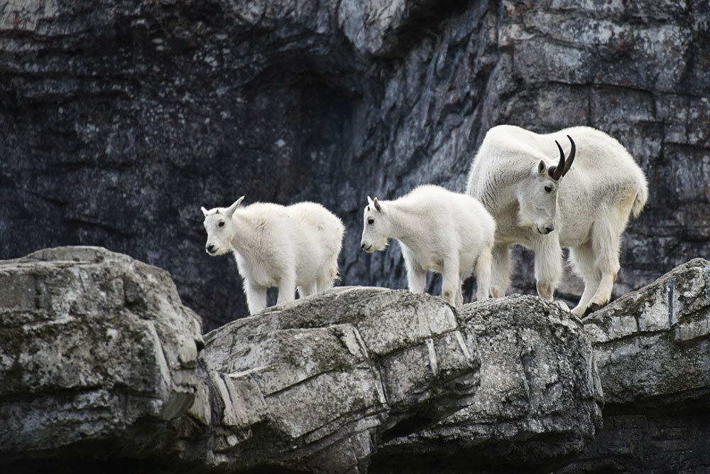 Mountain Goat - Calgary Zoo