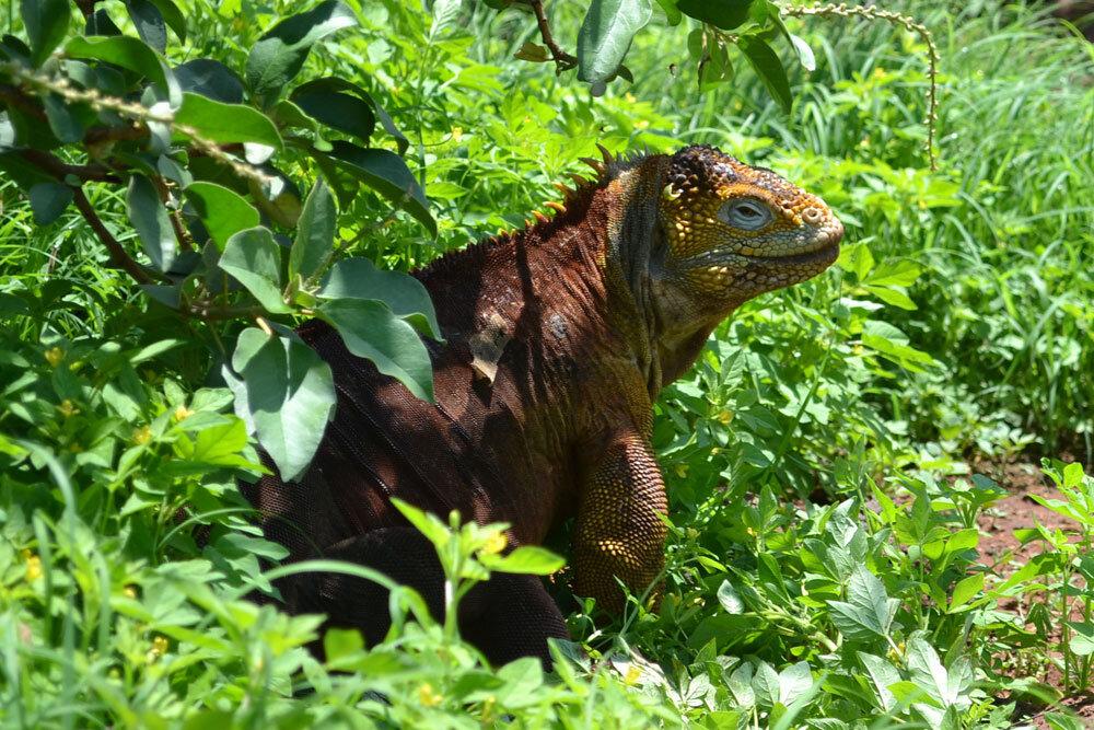 Iguana Terrestre - Isla Seymour Norte